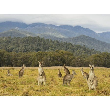 Eastern Grey Kangaroos, Geehi, Kosciuszko National Park, New South Wales, Australia, Pacific Print Wall Art By Jochen (Shops For Sale In Australia)