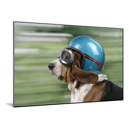 Basset Hound Wearing Goggles and Helmet Wood Mounted Print Wall - Hound Helmet