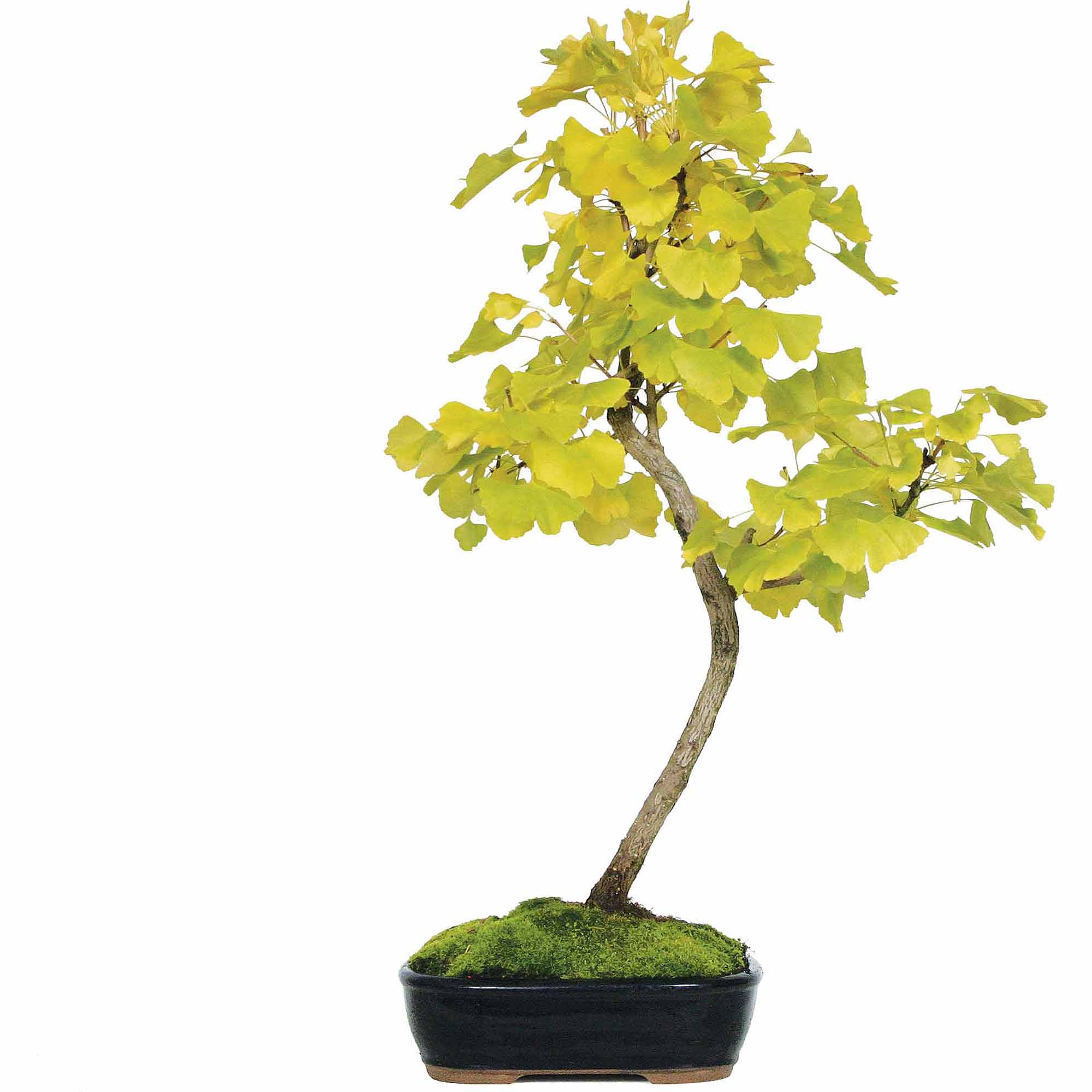 Ginkgo Bonsai Tree by Brussel's Bonsai