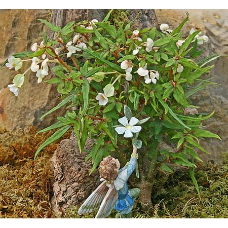 Mini Maple Leaf Scented Leaf Geranium - 2.5