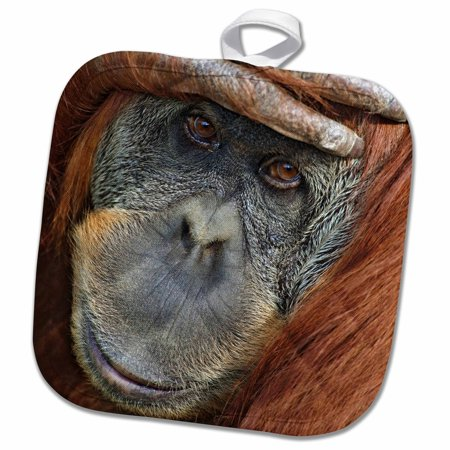 3dRose Captive Sumatran Orangutan, with hand on head, Pongo pygmaeus abelii. - Pot Holder, 8 by 8-inch