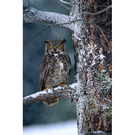 British Trees (Great Horned Owl perched in tree dusted with snow British Columbia Canada Poster Print by Tim Fitzharris)