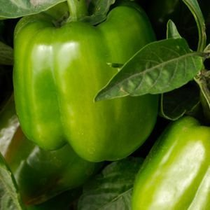 California Wonder Bell Pepper Plant - Non-GMO - Two (2) Live Plants - Not Seeds - Each 4