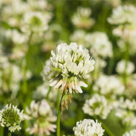 White Dutch Clover Seeds - 4 Oz - Lawn, Pasture & Cover Crop Seeds by Mountain Valley