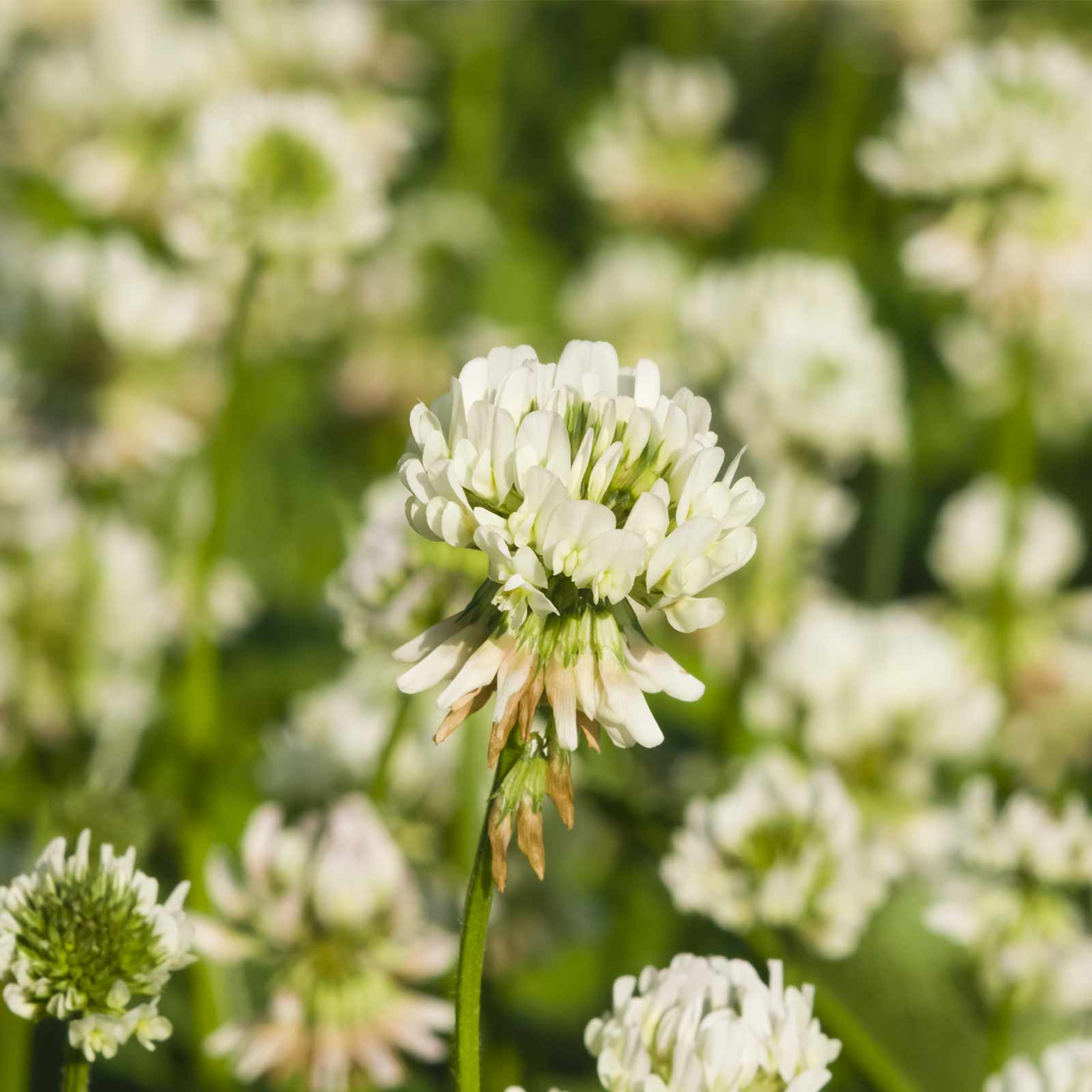 White Dutch Clover Seeds - 4 Oz - Lawn, Pasture & Cover Crop Seeds by Mountain Valley Seeds