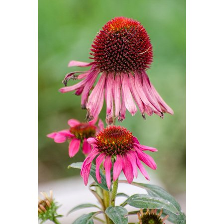 canvas print coneflower purple petals cone flower garden green stretched canvas 10 x 14 (Personalized Petal Cone)