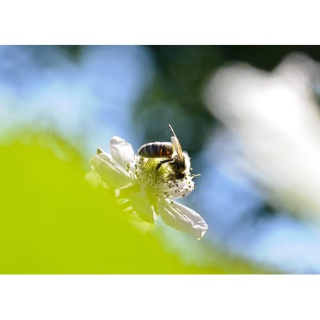 Individual Berry Blossom (Canvas Print Bee Sprinkle BlackBerry Bloom Insect Blossom Stretched Canvas 10 x 14 )