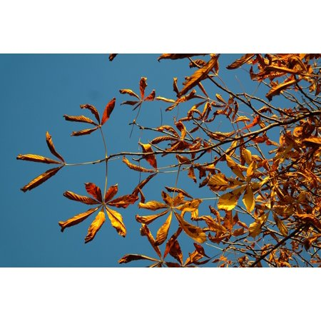 LAMINATED POSTER Gold Fall Leaves Autumn Colours Tree Chestnut Poster Print 24 x 36