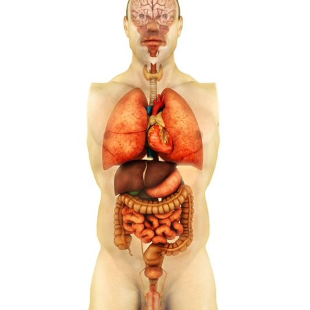 Anatomy of Human Body Showing Whole Organs, Front View Print Wall Art By Stocktrek Images