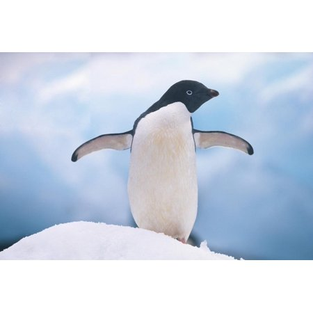 Outstretched Wings (Adelie Penguin with Wings Outstretched Print Wall Art By DLILLC)