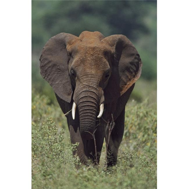 African Elephant Africa Poster Print, 12 x 19 - image 1 of 1