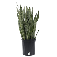Delray Plants Live 2 to 3 Feet Tall Snake Plant (Sansevieria zeylanica) Easy To Grow Live House Plant, 10-inch Grower Pot