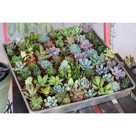 one live 2 succulent for gardens patio home decor living wall - Walmart Home Decor