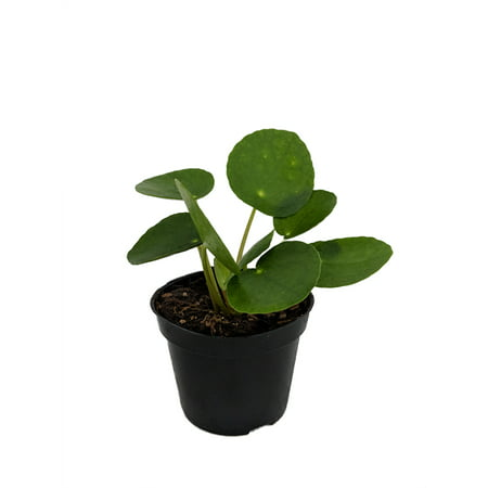 Chinese Money Plant P It On Pilea Peperomiodes 2 5 Pot