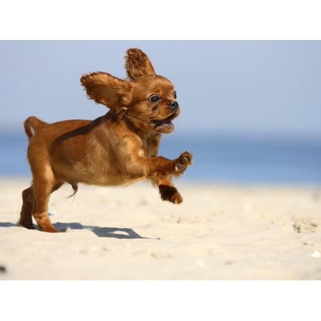 Cavalier King Charles Spaniel, Puppy, 14 Weeks, Ruby, Running on Beach, Jumping, Ears Flapping Print Wall Art By Petra
