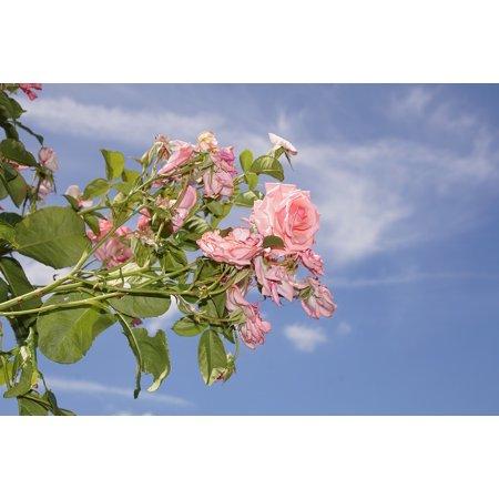 LAMINATED POSTER Close Rose Blossom Climbing Rose Bloom Ramira Poster Print 24 x 36 ()
