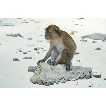 Monkey Small Framed Print (LAMINATED POSTER Beach Monkey Animal Wild Sand Sitting Small Cute Poster Print 24 x 36 )