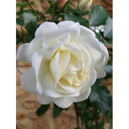 LAMINATED POSTER Bloom Prosperity Rose Flower Rose David Austin Poster Print 24 x