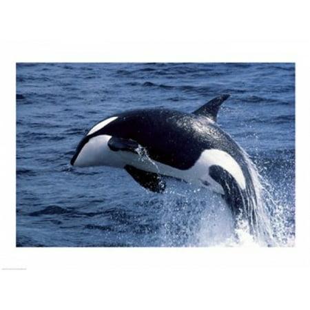 Walmart Credit Card Review >> Killer Whale Orcinus Orca Atlantic Ocean Poster Print (24 ...