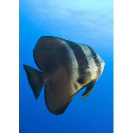 Longfin Spadefish Papua New Guinea Canvas Art   Steve Jonesstocktrek Images  12 X 17