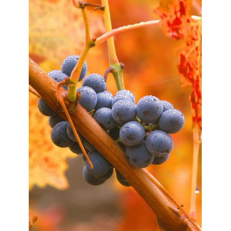 Napa Valley Cabernet - Dew on Cabernet Grapes, Napa Valley Wine Country, California, USA Print Wall Art By John Alves