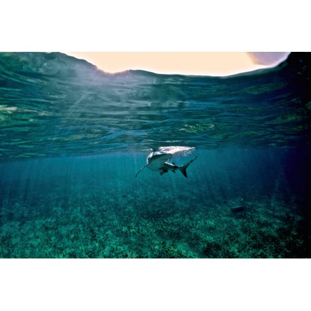 Caribbean Reef Shark Grand Cay The Bahamas Poster Print by Amanda NichollsStocktrek Images