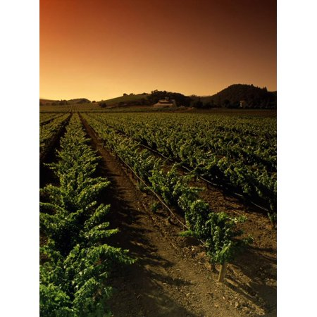 Vine Crop in a Vineyard, Usibelli Vineyards, Napa Valley, California, USA Print Wall Art By Green Light Collection