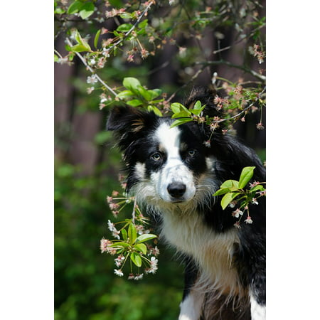 LAMINATED POSTER Dog Border Collie Harbinger Of Spring Spring Poster Print 24 x 36