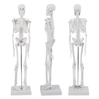 """Lv. life Human Skeleton Model, Medical Anatomical Life Size Skeleton Model with Stand and Base for Doctors / Chiropractors / Acupuncturist / Physical Therapist (45cm/17.7"""")"""