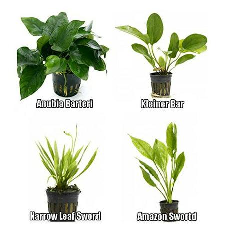 4 Potted Live Aquarium Plants Bundle - Anubia, Amazon Sword, Kleiner Bar, Narrow Leaf Aquarium Amazon Sword Plant