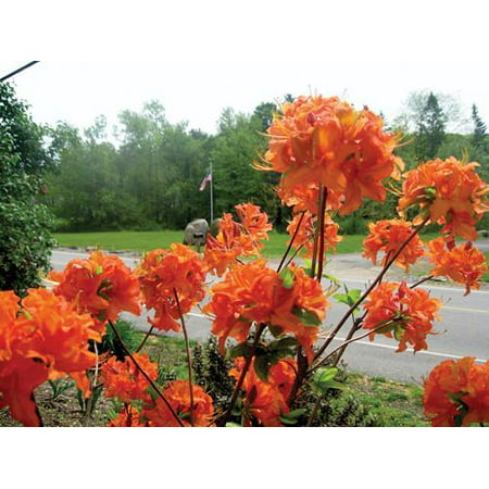 Mandarin Lights Orange Deciduous Azalea - Live Plant - 3 Gallon
