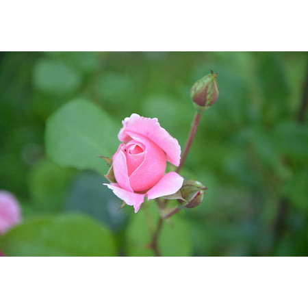 Pink Rose Bud Print - LAMINATED POSTER Plant Rose Bud Nature Color Pink Green Petals Poster Print 24 x 36