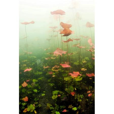 Lily pads underwater in cenote in Mexico Poster Print by Karen DoodyStocktrek