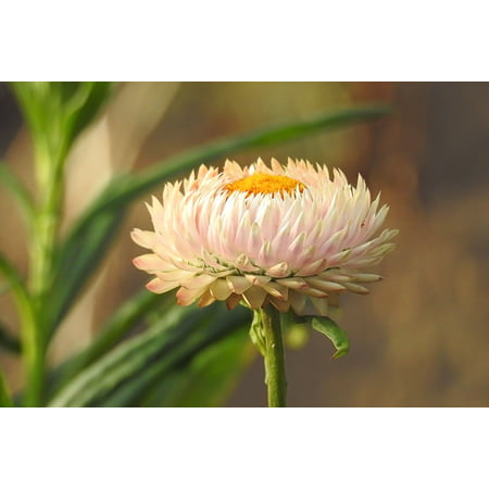Laminated Poster White Straw Flowers Filled Composites Helichrysum Poster Print 24 X 36