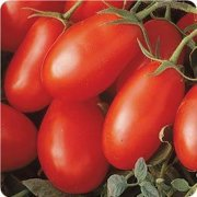"""La Roma Red Tomato Plant - Two (2) Live Plants - Not Seeds -Each 5""""-7"""" Tall in 3.5"""" Pots"""