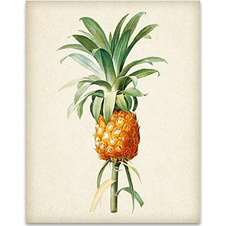 Pineapple Botanical Drawing 11x14 Unframed Art Print Great