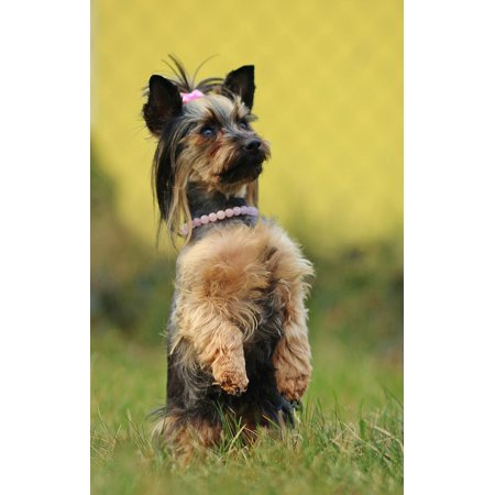 LAMINATED POSTER Dog Sweet The Two Permanent Paw Yorkshire Terrier Poster Print 24 x (Terrier Paw Prints)