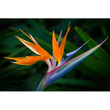 HAWAIIAN Bird of Paradise Seeds - ()