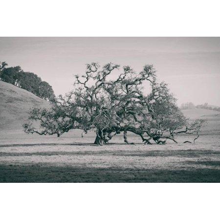 Coast Live Oak Elegance in Black and White, Northern California Print Wall
