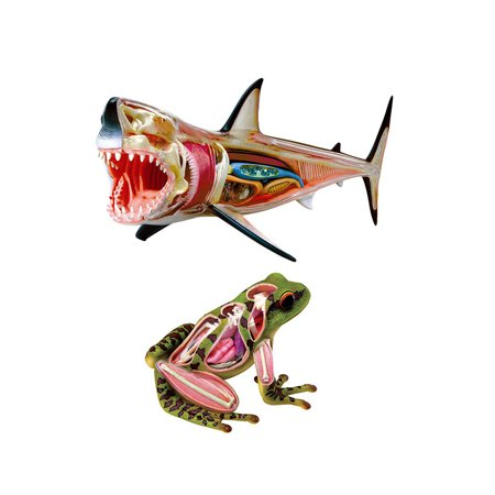 Educational Play Set Great White Shark Anatomy Model and Frog ...