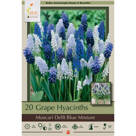 Delft Blue Grape Hyacinth Mix 20 Bulbs - Muscari - 8/9 cm Bulbs Grape Hyacinth Bulbs