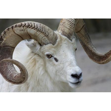 Canvas Print Nature Mammal Wildlife Ram Sheep Animal Horns Stretched Canvas 10 x 14