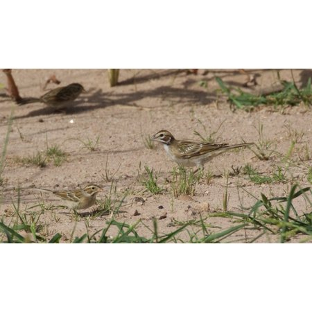 LAMINATED POSTER Clay-colored Sparrow & Lark Sparrow | Willow Tank | Portal | AZ | 2015-09-16at09-56-36 Poster Print 24 x 36 Captain Jack Sparrow Poster