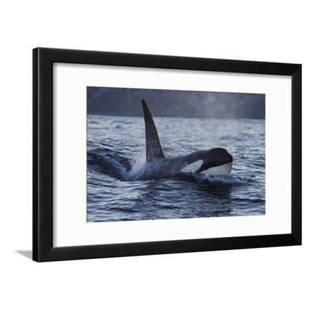 Orca - Killer Whale (Orcinus Orca) Surfacing, Senja, Troms County, Norway, Scandinavia, January Framed Print Wall Art By Widstrand Pictures Orca Whales