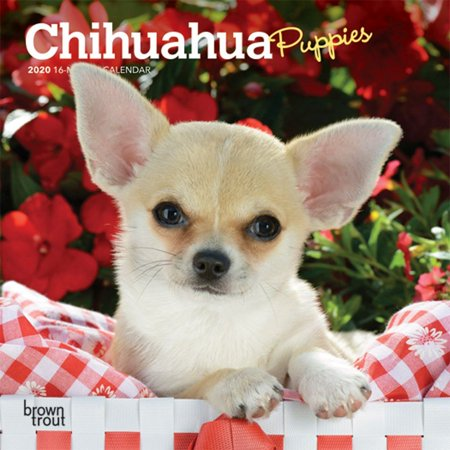 Calendars Chihuahua Puppies Mini Wall Calendar with Full Color Pages - All Major & Significant Holidays Puppies Wall Calendar