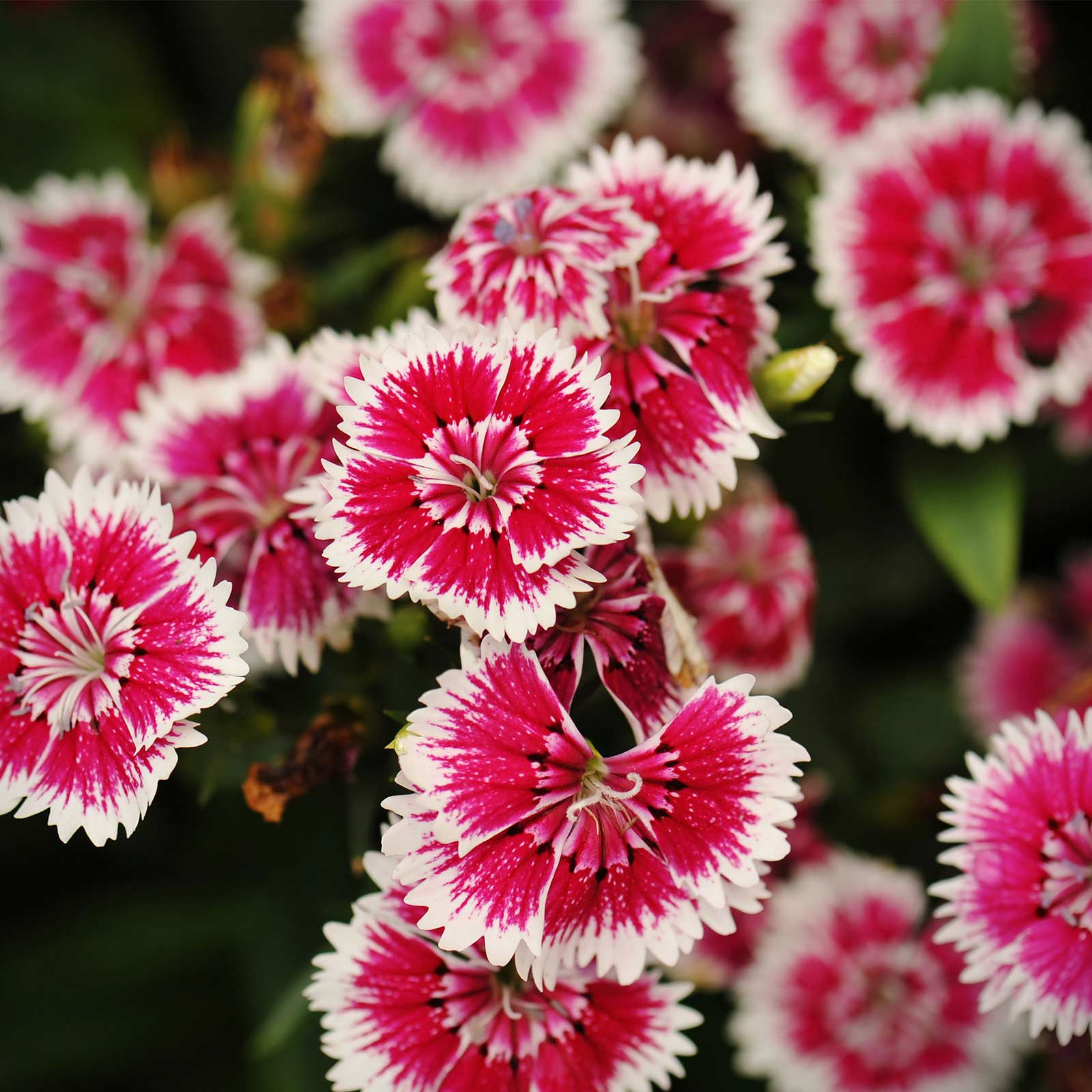 Dianthus Floral Lace Series Flower Seeds Picotee 100 Seeds