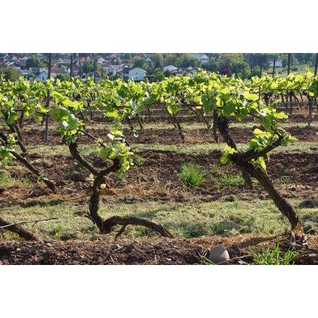 Canvas Print Vineyard Vines Grapes Winegrowing Wine Autumn Stretched Canvas 10 x (Vineyard Vines Canvas)