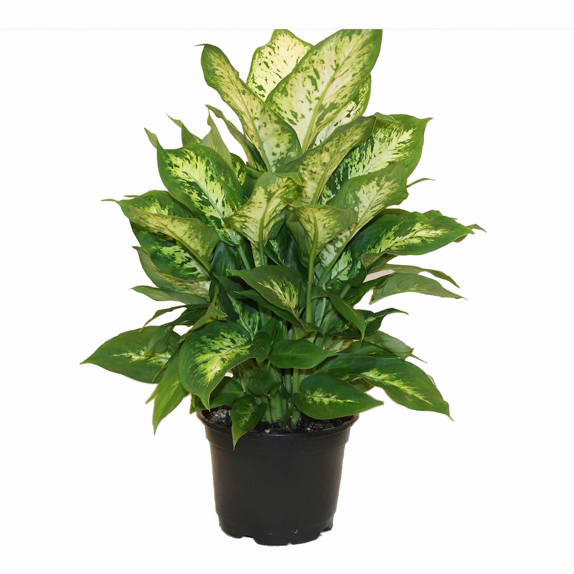 Delray Plants Live Dieffenbachia Plant in 6 inch Grower Pot