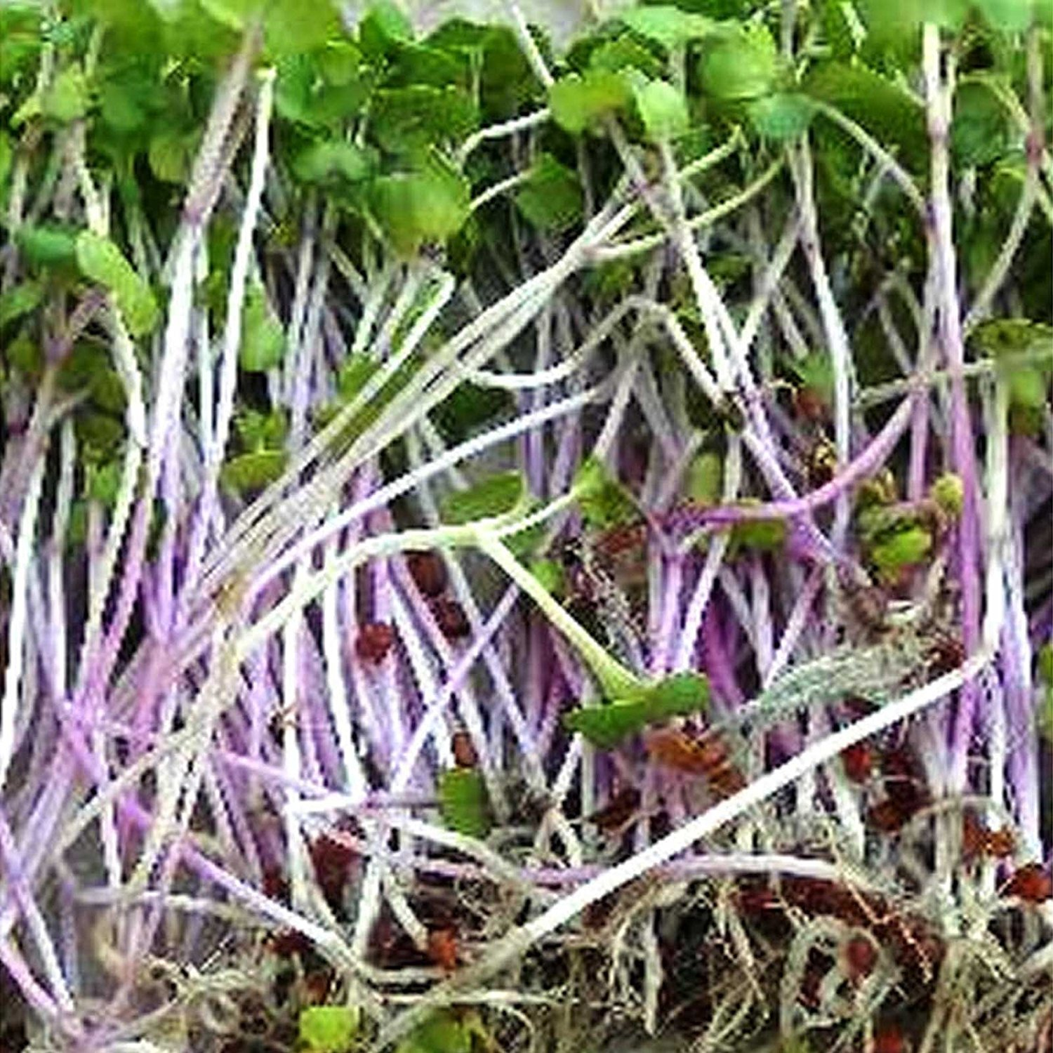 Triton Purple Radish Sprouting Seeds 1 Lb Seed Pouch Non-GMO Purple, Red, Green Sprouts- Sprout and Microgreen Radishes, Radish Seeds .., By... by