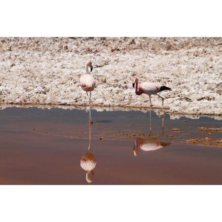 LAMINATED POSTER Animal Chile Bird Atacama Desert Pink Flamingos Poster Print 11 x 17